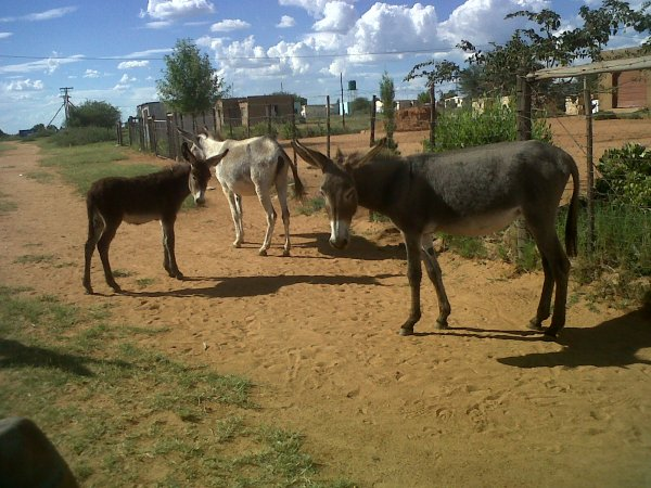 What's up? Donkeys waiting at the spot where i catch a bakke to my village.